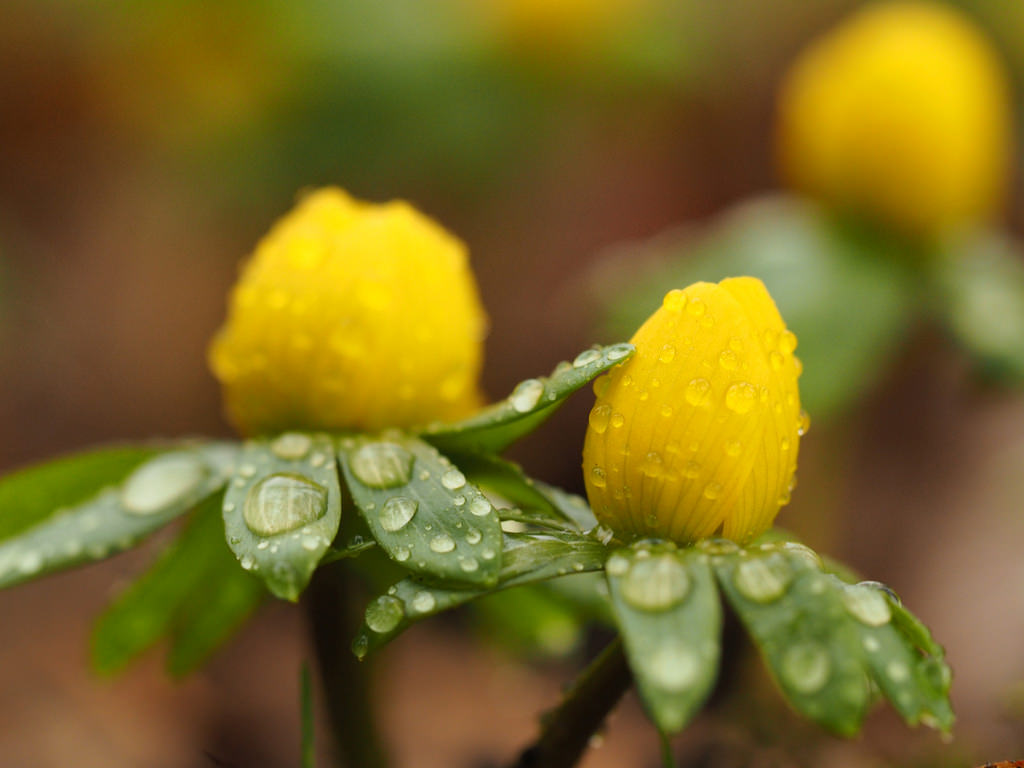 flowers with raindrops in springtime
